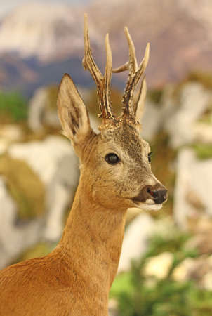 apennines: fallow deer wild animals of the forest in the middle of the Woods chased by hunters