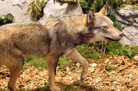 voracious: ferocious and voracious Wolf looking for prey in the middle of the Woods in autumn 3 Stock Photo