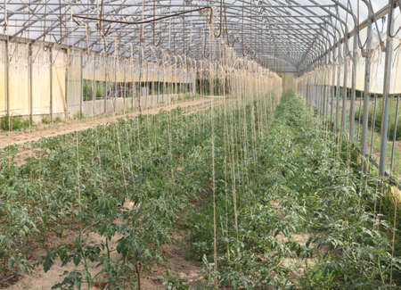 greenhouse for the intensive cultivation of cluster tomatoes and plum tomato type in Italy 1 photo