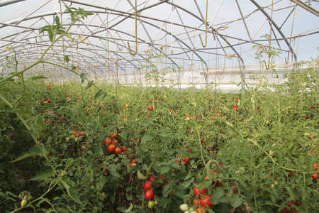 greenhouse for the intensive cultivation of cluster tomatoes and plum tomato type in Italy 6 Banco de Imagens