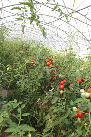 greenhouse for the intensive cultivation of cluster tomatoes 8 Stock Photo - 21433316