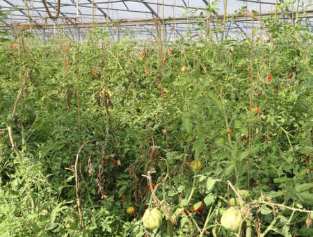 greenhouse for the intensive cultivation of cluster tomatoes and cherry tomatoes in Italy 10 photo