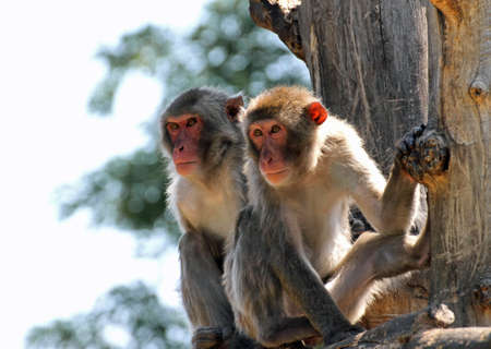 clinging: two Japanese macaques clinging to a tree branch in the Savannah