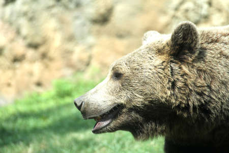 supremacy: brown bear while resting in the midst of his natural habitat in the mountain Stock Photo