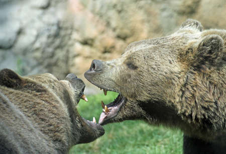 two ferocious bears struggle with mighty bites and blows the mouth open and the teeth sharp Stock Photo