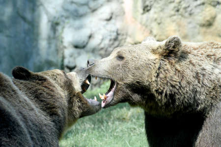 two ferocious bears struggle with mighty bites and blows the mouth open and the teeth sharp photo
