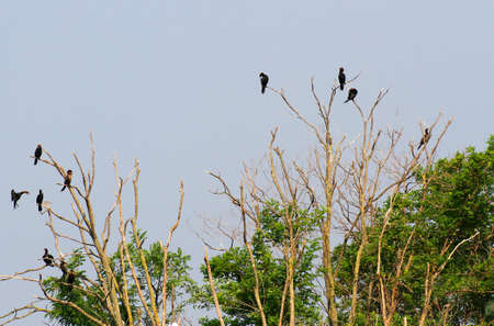 uninhabited: black vultures and crows in the uninhabited island as an ancient omen of death