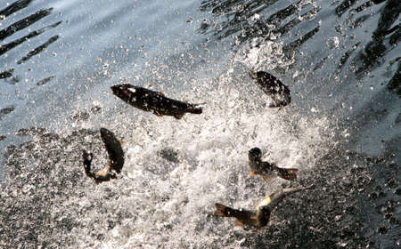 gleaming: many dancing trout fish in the crystal clear waters of the pond light