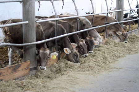 cows in the barn of the farm for the production of milk and dairy products