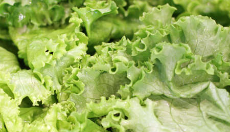 Green and fresh salad and lettuce in large leaves for sale at the market photo