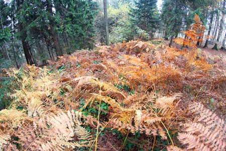 disoriented: fern forest with many dried leaves