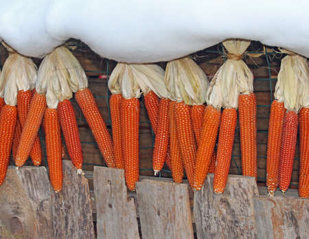 drying corn cobs: dried corn cobs drying in the Sun in a cottage in winter Stock Photo