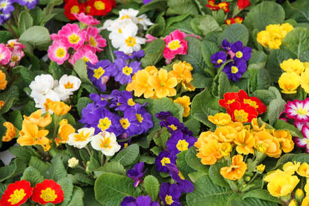 resale: many pots of flowering in primula spring in wholesale 1