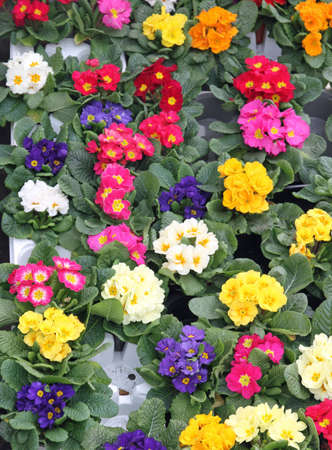 resale: flowerpots and Primroses just blossomed into selling to the flower market Stock Photo