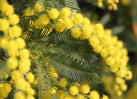 8 march: beautiful Yellow Mimosa to give women in the international womens day on 8 March 8 Stock Photo