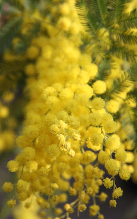 8 march: beautiful Yellow Mimosa to give women in the international womens day on 8 March