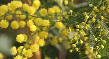 8 march: beautiful Yellow Mimosa to give women in the womens day on 8 March