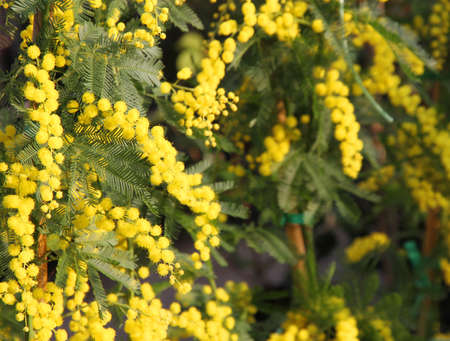 8 march: Yellow Mimosa Bush to give all women during international womens day on 8 March