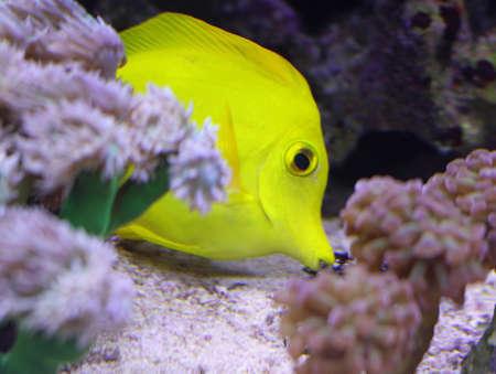 surgeon fish: amarillo peces tropicales que nadan en el gran acuario marino en busca de comida