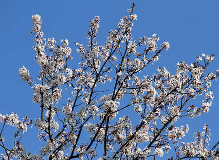 branches laden with flowers of a beautiful blossoming cherry tree in spring Stock Photo - 26532044