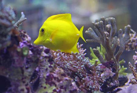 surgeon fish: amarillo brillante peces tropicales nadando en el mar caliente en medio de las algas Foto de archivo