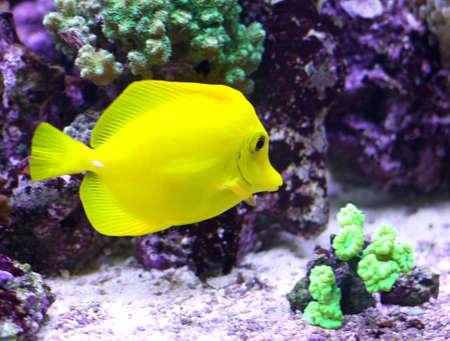 surgeon fish: amarillo peces tropicales nadando en el mar caliente