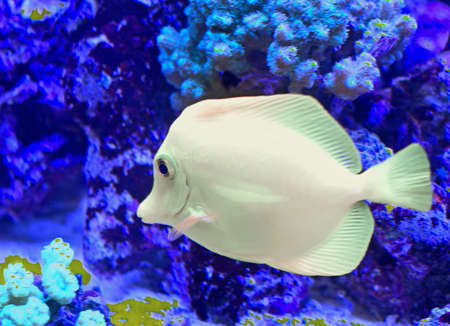 surgeon fish: huge white tropical fish that swims in the large marine aquarium