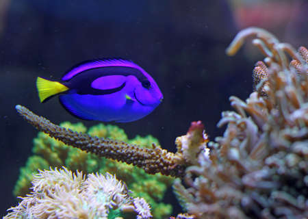 surgeon fish: Blue colored tropical fish swimming in the large marine aquarium in search of food