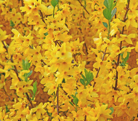 nurseryman: many yellow flowers of Forsythia blooming in spring 1 Stock Photo