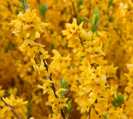 nurseryman: branch with yellow Forsythia blooming flowers in spring