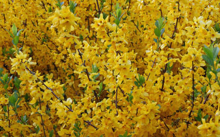 nurseryman: many branches full of yellow Forsythia blooming flowers in spring