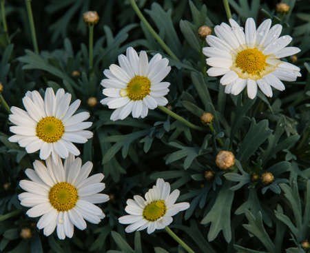 nurseryman: background of white flowers and daisies from the florist for sale
