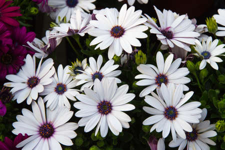 nurseryman: white daisies from the florist for sale Stock Photo