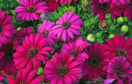 nurseryman: background of purple flowers and daisies from the florist for sale