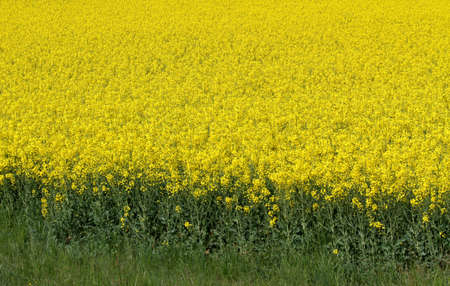 rapeseed: yellow field of rapeseed flowers in spring