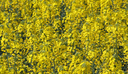 detail of flower cultivation of rapeseed for oil production
