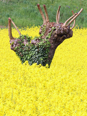 rapeseed: mulberry trees pruned and yellow field of rapeseed flowers in spring 5