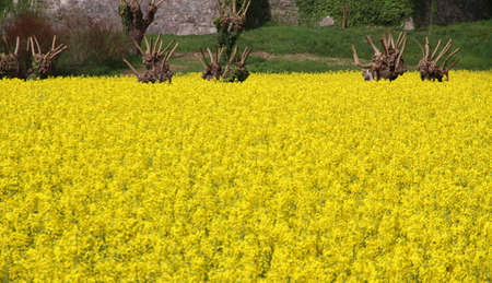 mulberry trees pruned and yellow flower field of rapeseed for oil production Archivio Fotografico