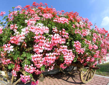 petunias: antique wooden wagon with many blooming Geraniums in summer Stock Photo