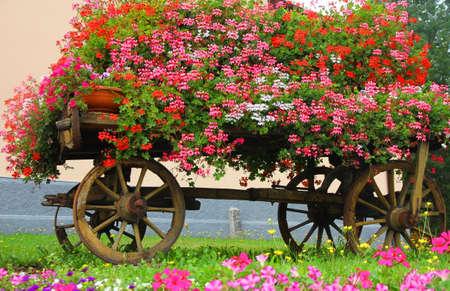 carreta madera: carro de madera con muchos geranios florecen en verano Foto de archivo