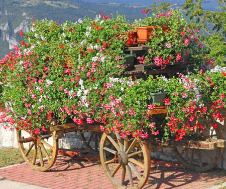 beautify: mountain flower cart with many Geraniums and other flowers to beautify the city