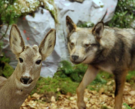 mortal danger: Roe deer in mortal danger with the Wolf