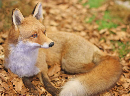 Fox while resting lying in the middle of the leaves in autumn 3 Stock Photo