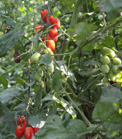 greenhouse of tomatoes and plum tomato type in Italy 5 photo