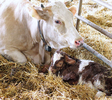 very little newborn calf in the straw with her mom cow photo