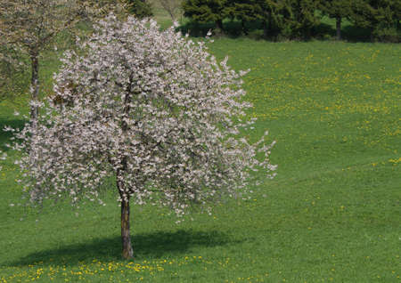 big cherry tree in bloom in Meadow green in the mountains photo