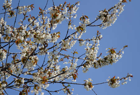 branch of blossoming cherry tree in spring photo