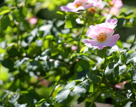 rosoideae: nice pink wild ROSES in a Bush of thorns in spring Stock Photo