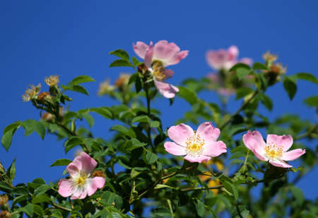 rosoideae: beautiful pink wild roses in a Bush of thorns in spring