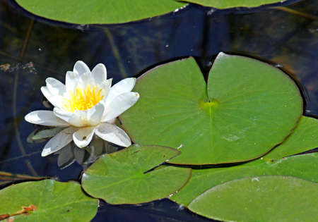 beautiful white water lily in the pond with the green leaves